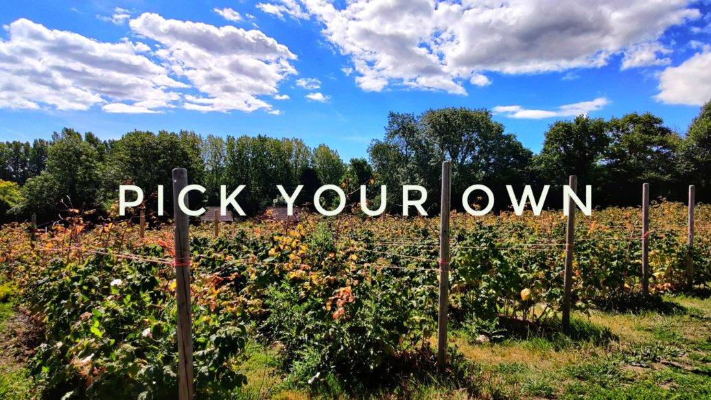 Raspberry cane patch at a pick your own farm